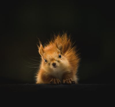 squirrel with standup hair