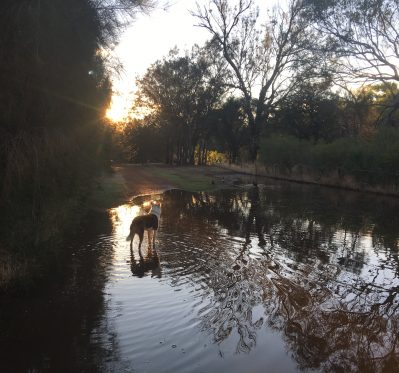 Dog standing in puddlg ein fading afternoon light